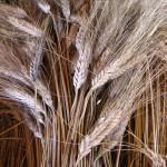 pisatura grano 002