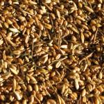 pisatura grano 056